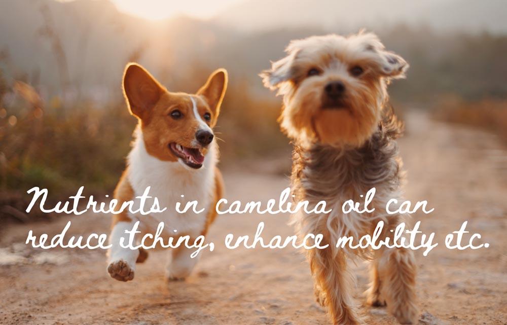 camelina dogs