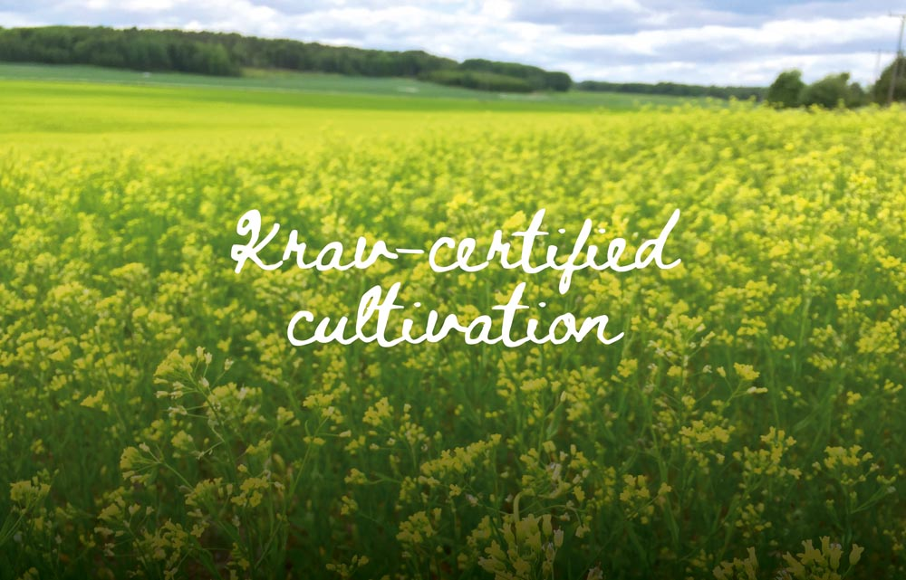 Certified cultivation of camelina in sweden